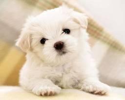 Poodle (micro/médio/grande porte) - Lindos filhotinhos com garantias!