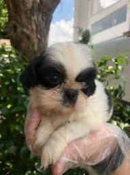 Os mais fofos filhotes de Shih Tzu disponíveis a pronta entrega *Lucas