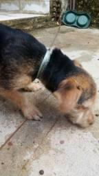 Cachorro Pinscher com Poodle