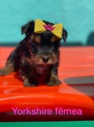 Linda Yorkshire Terrier micro fêmea esperando por você