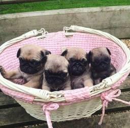 Filhotes de Pugs lindas Femeas em promoção nesta quinzena