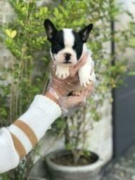 Os maravilhosos filhotes de Bulldog francês estão aqui *Lucas