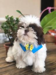 Shihtzu macho chocolate