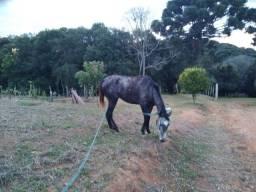 Cavalo... égua