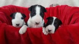Bull Terrier Inglês, garantias em contrato (tamanho, e doenças virais, genéticas)