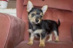 Yorkshire Terrier com Chihuahua - Chorkie filhotes fêmea lindíssima!