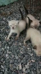 Doa se gatinhos macho siames