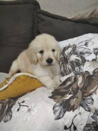 Filhote de Golden Retriever Macho