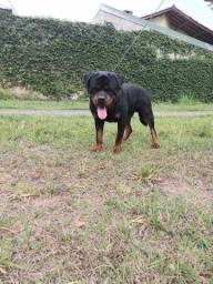 Rottweiler Elko Pronto pra Cobertura.