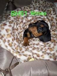 Vendo basset dachshund T.Mini fêmeas