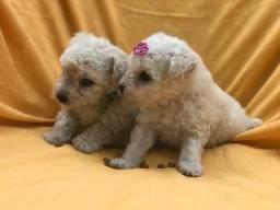 Oportunidade com Seguranca Poodle Babys