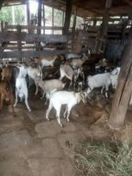 Cabras e cabritos aparti de 270 reais cada. *