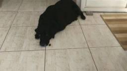 Labrador puro para adoção.