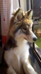 Vendo Husky Siberiano Fêmea