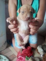 Filhotes de pitbull disponível *27 400 reais
