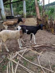 Ovelhas e borregos
