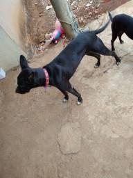 Cachorras misturada com Pitbull doação responsável