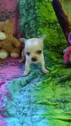 Chihuahua micro pelo curto
