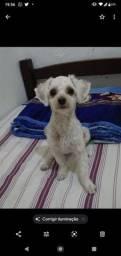 Procura-se cadelinha poodle toy para cruzar