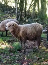 Vendo ovelha  corriedale