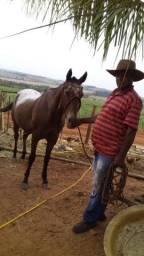 Égua mansa, de montaria familiar