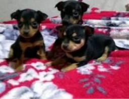 Filhotes de pinscher,n1.R$ 450 contato *