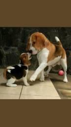Perfeita filhote de Beagle! Com garantia e microchip!