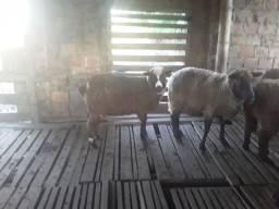 Vendo Lote de ovelhas Pretas e Prenhas