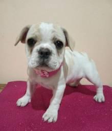 Bulldog francês fêmea e macho