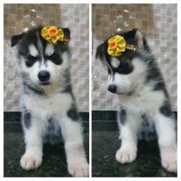Ultimos disponível Husky Siberiano