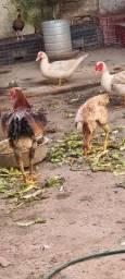 Casal galo indio e galinha  gigante