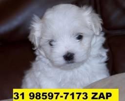 Canil Top Cães Filhotes BH Maltês Basset Shihtzu Yorkshire Poodle Lhasa