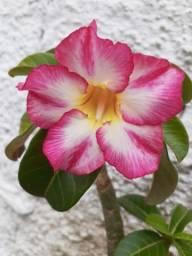Cultivo   Rosa do deserto p/ venda 40R$ à 80R$