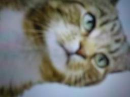 Quero um filhote de gatinho siamês