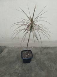 Drascena de Madagascar - 90 cm
