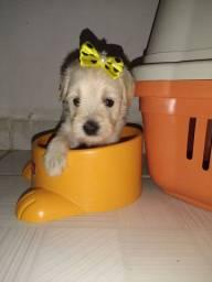 Filhotes fêmeas poodle toy com maltês