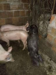 3 bacorotas e 1 porco capado peso médio variando de 70kg a 80 kg(vivos/cada).