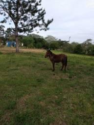Vendo cavalo com 7 mês não e domado