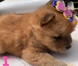 Vendo filhotes de cachorro chow chow guarapari