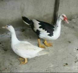 Patos adultos.