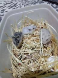 Hamster anão russo , varias cores