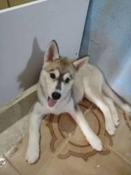 Husky fêmea 2 meses . Avalio trocas