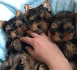 Lindos filhotes de yorkshire Mini