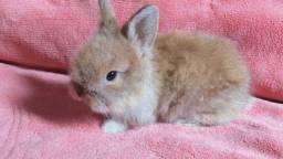Vendo coelhos mini fuzzy lop