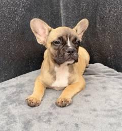 Bulldog frances com pedigree