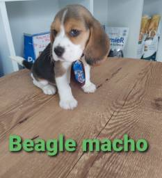 Beagle Macho