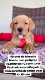 Labrador belíssimo com pedigree macho em 10x sem juros