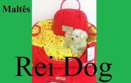 Filhote de Maltês com pedigree 3 meses - Rei Dog Filhotes Aracaju/SE
