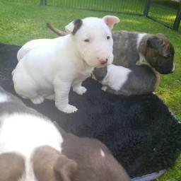 Bull Terrier Inglês flhotes vacinados (1º dose importada)