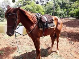 Equino Cavalo Potranca Quarta de Milha